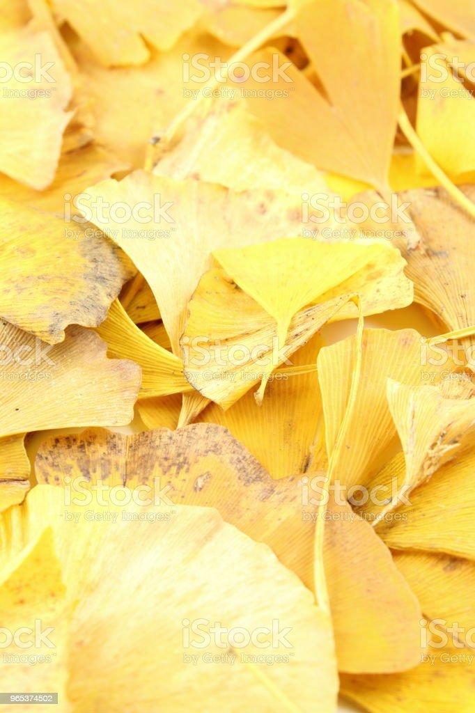 yellow ginkgo biloba leaves in the autumn background texture zbiór zdjęć royalty-free