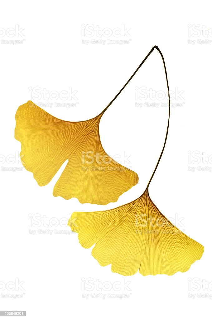 Yellow Ginkgo Leaf stock photo