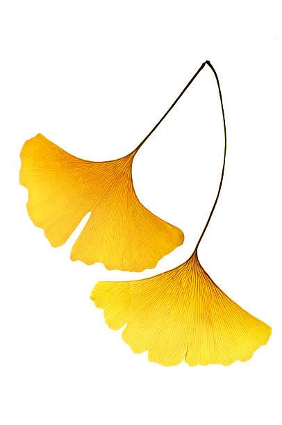 gelbe ginkgo leaf - ginkgo stock-fotos und bilder
