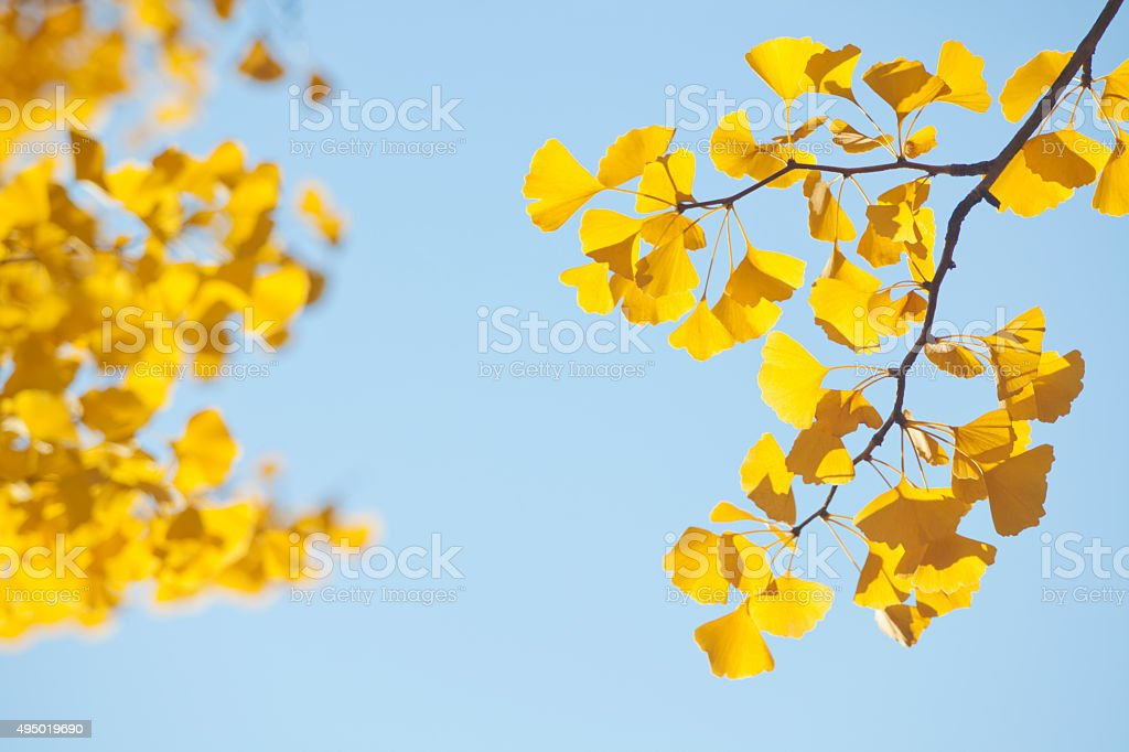 yellow ginkgo leaves in autumn stock photo