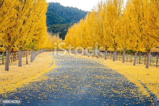Street through a wine vineyard in the autumn in Napa USA