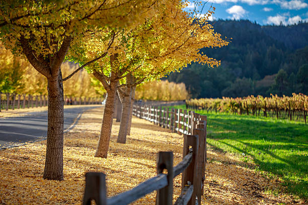 Yellow Ginkgo trees  on road lane in Napa Valley, California Street through a wine vineyard at autumn in Napa USA sonoma stock pictures, royalty-free photos & images