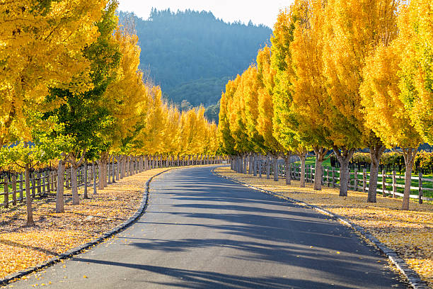Yellow Ginkgo trees  on road lane in Napa Valley, California Street through a wine vineyard at autumn in Napa USA sonoma county stock pictures, royalty-free photos & images