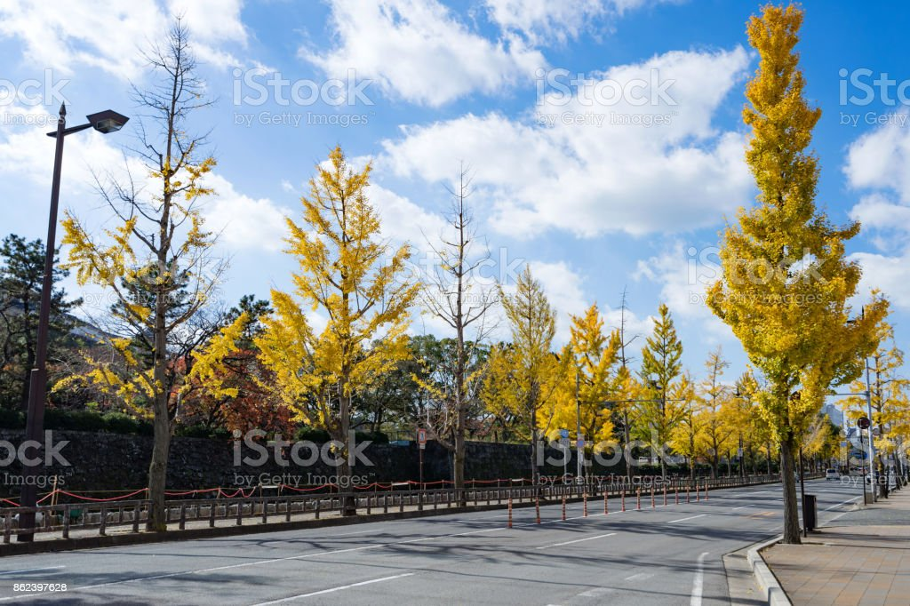 Yellow Ginkgo trees on road lane in Wakayama, Japan stock photo