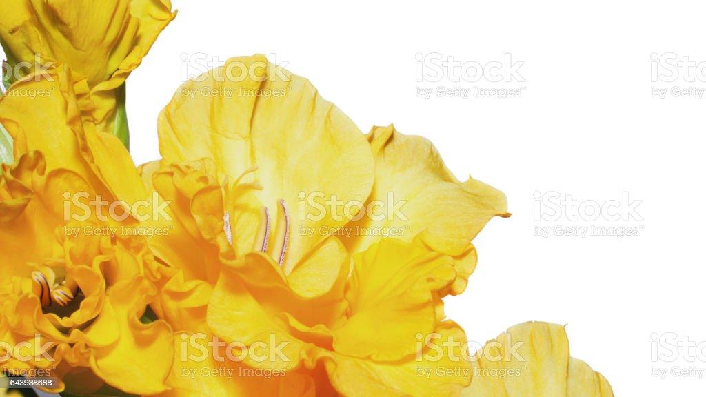 Yellow gladioli on white stock photo