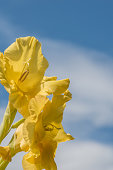 Yellow Gladiolus Against Blue Sky in Summer