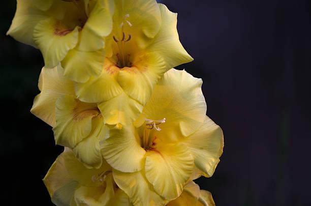 Yellow Gladiolus stock photo