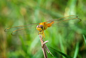 Yellow golden dragonfly with green background in outdoor sun lighting.