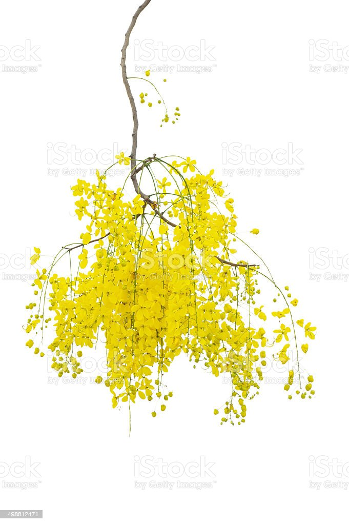 yellow Golden shower ,Cassia fistula flower isolate white backgr stock photo