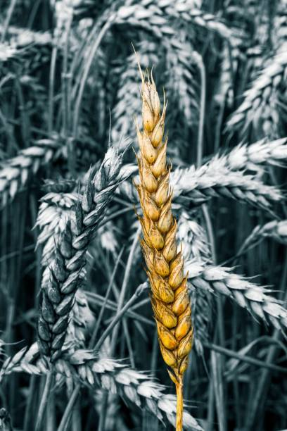 Yellow golden vegan wheat sheaf highlighted on black and white field stock photo