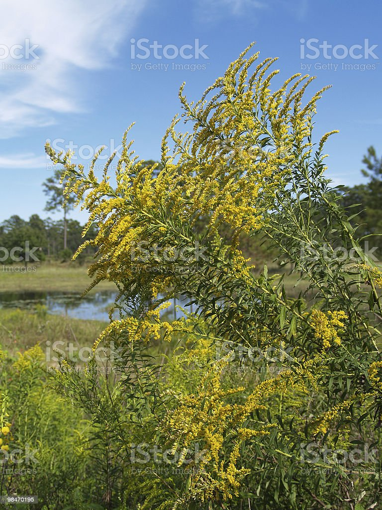 Yellow Goldenrod in Front of a Blue Sky royalty-free stock photo