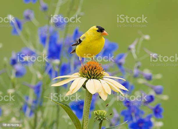 Yellow goldfinch perched on a coneflower picture id181876029?b=1&k=6&m=181876029&s=612x612&h=cy5cdcaid 6lwk0y8i1io3shmzza fpwn5qdciuw7ye=