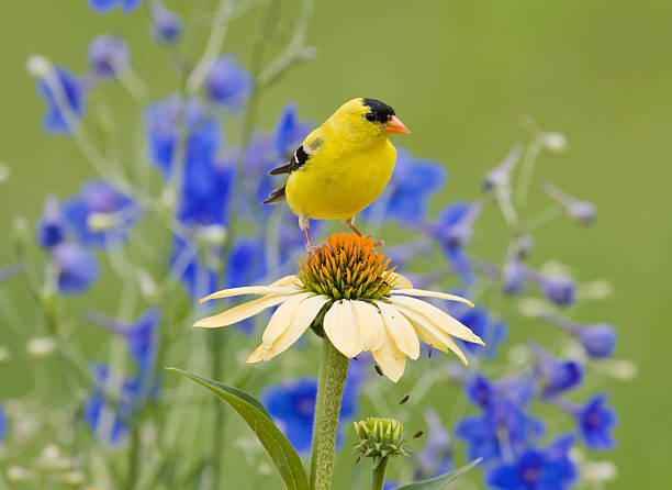 """Yellow Goldfinch, perched on a Coneflower """"American Goldfinch (male), in bright Summer plumage perched in Backyard Flower Garden"""" finch stock pictures, royalty-free photos & images"""