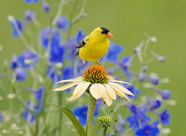 amarillo pinzón dorado, ubicada en un echinacea purpurea - pájaro fotografías e imágenes de stock