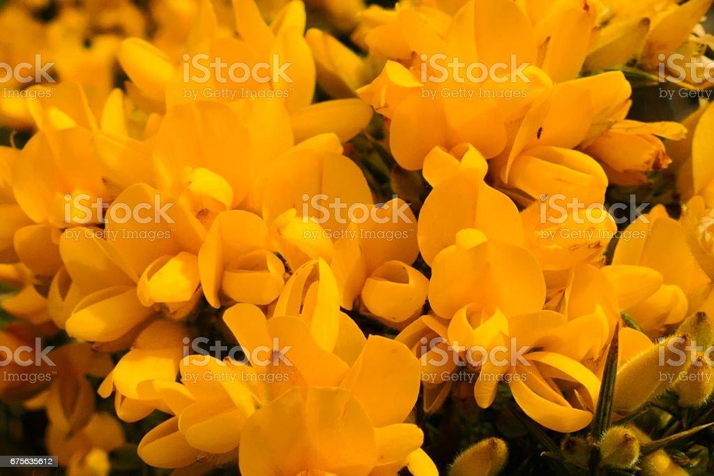 Yellow Gorse Bush stock photo