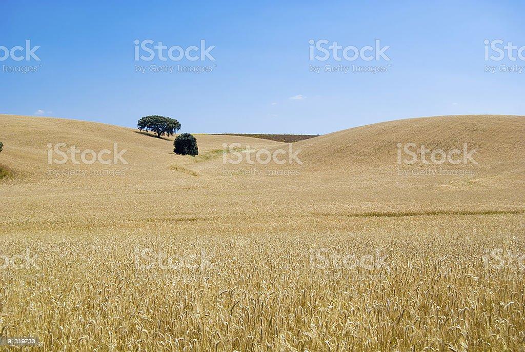 Gelbe grain-bereit für die Ernte wächst in einem Bauernhof Feld – Foto