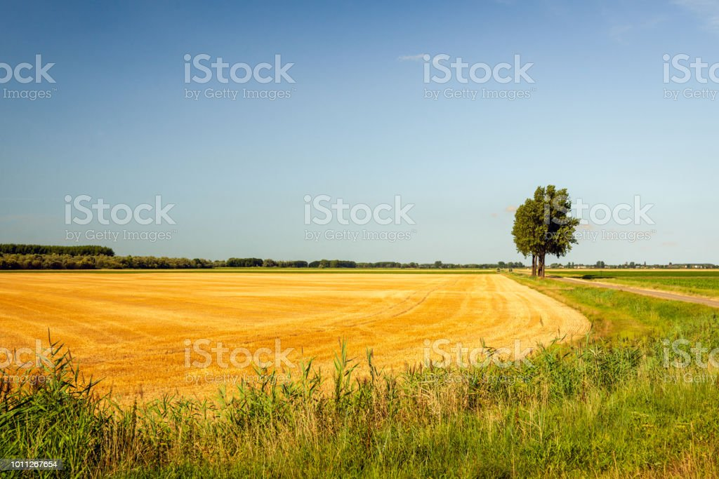 Yellow Grain Stubble Field In Summertime Stock Photo