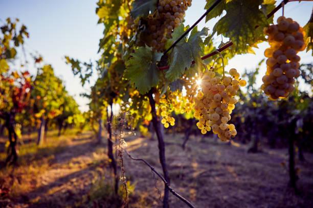 Amarillo uvas en la vid de la Viña - foto de stock