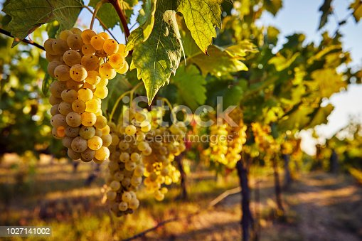 Yellow grapes on the vineyard on a sunny day