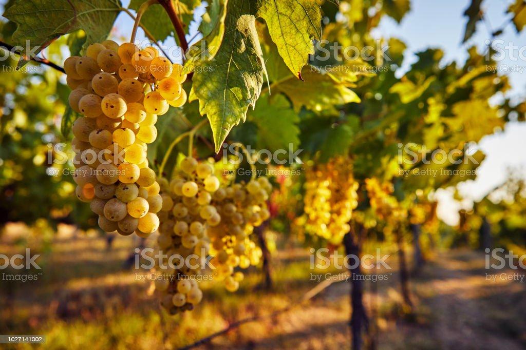 Gelbe Trauben auf dem Weinberg – Foto