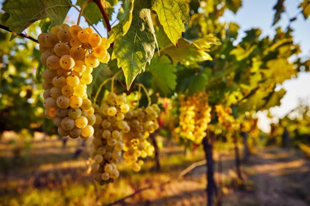 Amarillo uvas en el viñedo - foto de stock