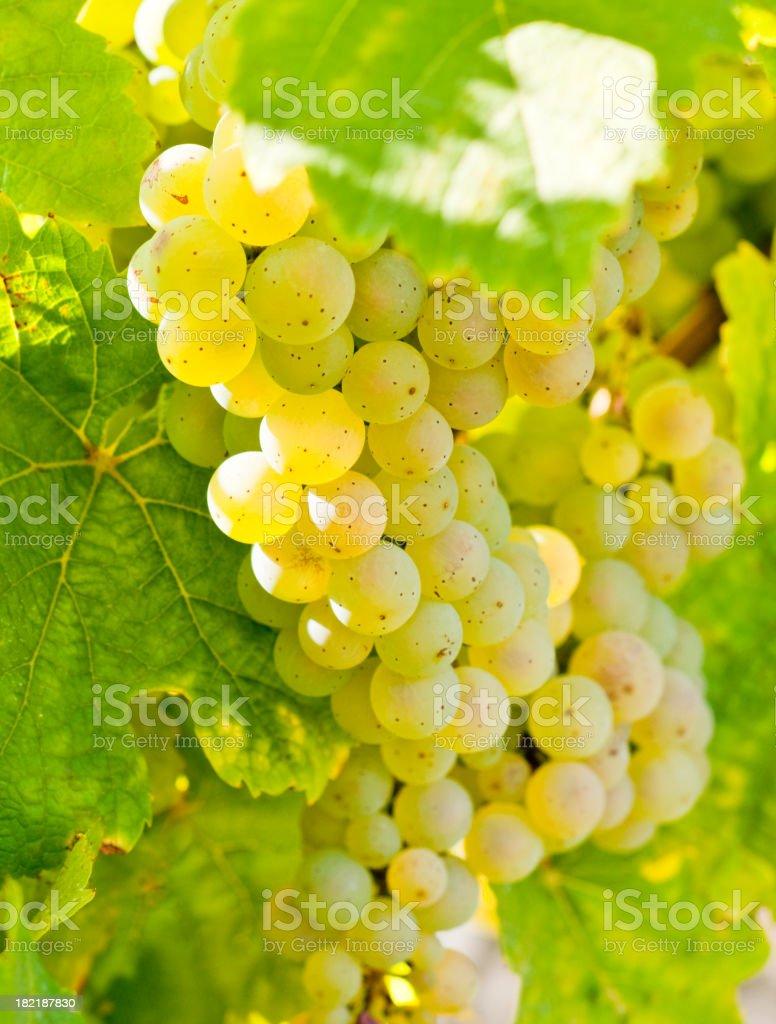 Yellow grapes, Rheingau Riesling stock photo