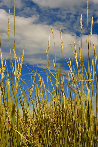 yellow grass against blue sky stock photo