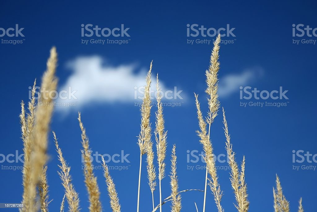 Yellow grass and blue sky royalty-free stock photo