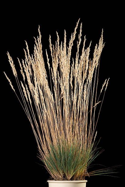 Yellow grass cluster with panicle in flower-pot stock photo