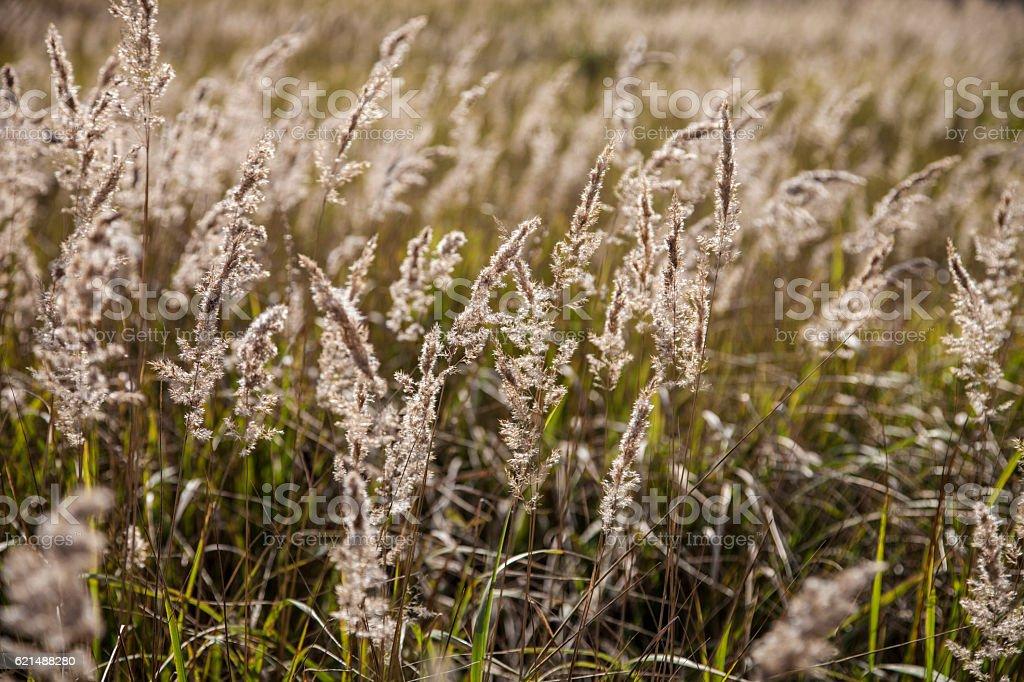 Yellow grass in the meadow photo libre de droits