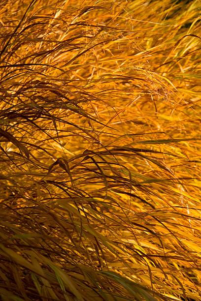 Yellow Grass stock photo