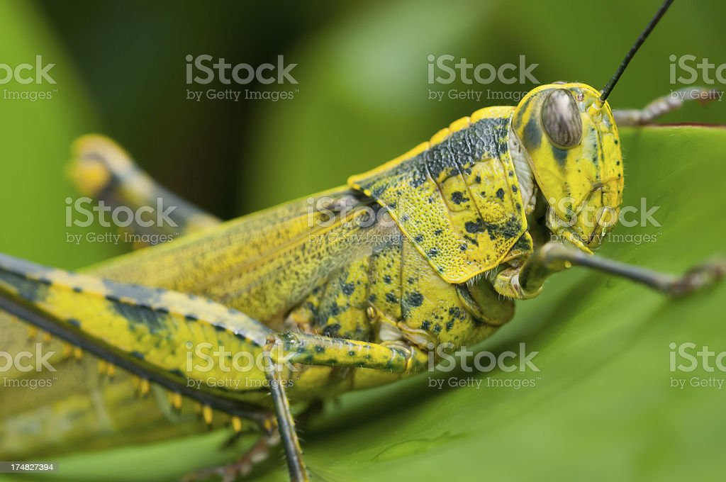 Yellow grasshopper macro stock photo