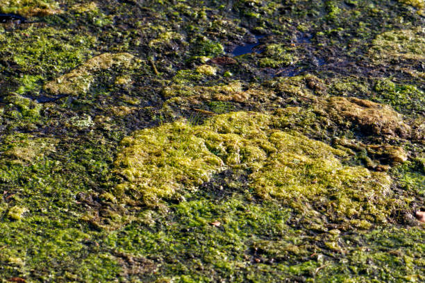 Yellow green Algae blooms in South Florida storm water canal and drainage ditches stock photo