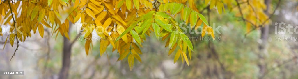 Yellow, green,  autumn leaves 'u2013 banner, panorama stock photo