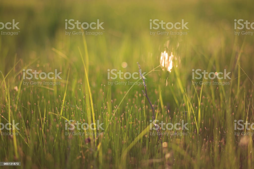 Yellow green grass and twig in the field close-up zbiór zdjęć royalty-free