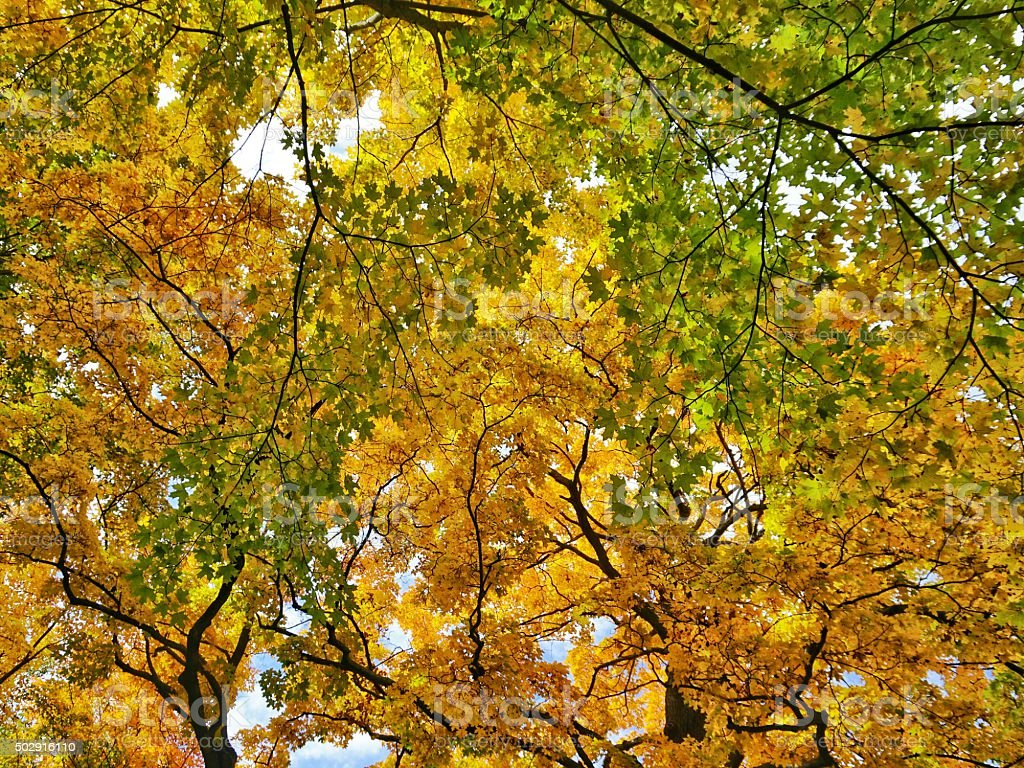 Yellow Green Orange Leaves Oak Maple Tree Top Branches Canopy royalty- : canopy of leaves - memphite.com