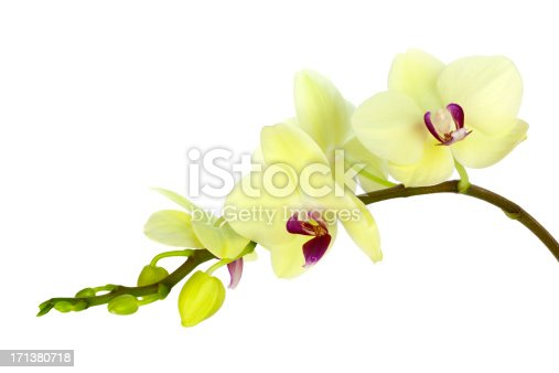 Yellow Green Orchid on White Background, Close-up.