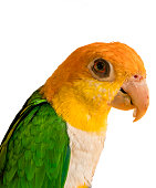 Yellow green parrot on white background