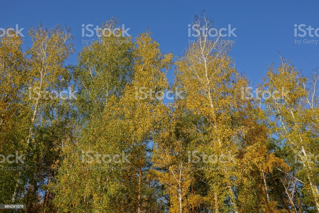 yellow green tops of deciduous trees against the sky royalty-free stock photo