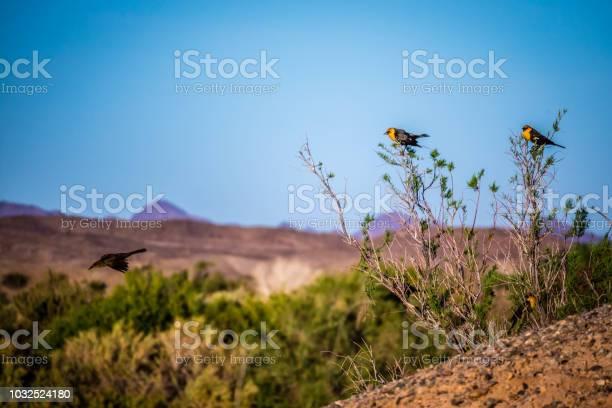 Photo of A Yellow Headed Blackbird in Yuma, Arizona