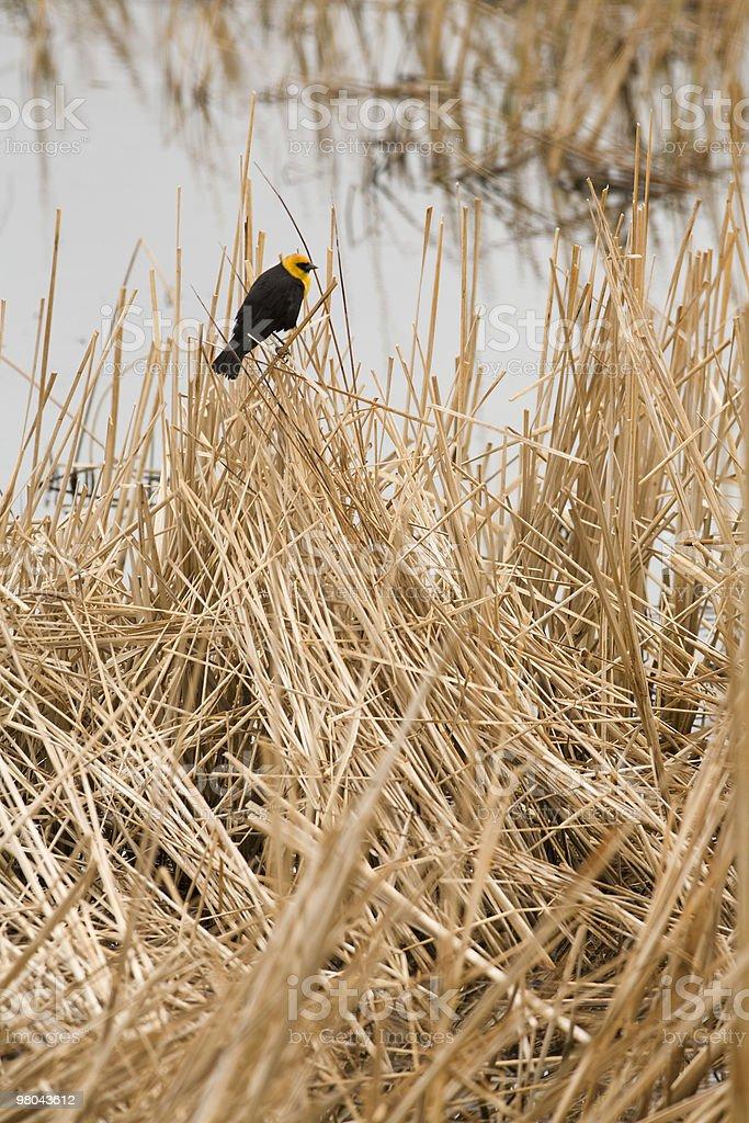 Yellow Headed Blackbird royalty-free stock photo