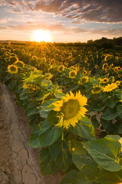 Gele hoofden van rijpe zonnebloemen bij zonsondergang foto