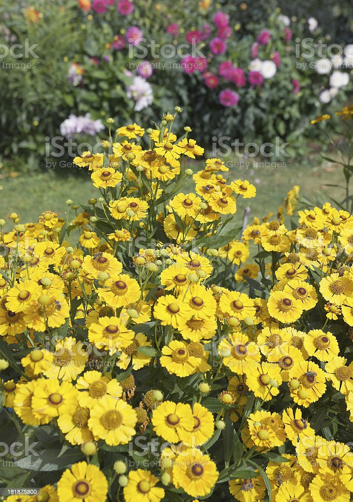 Yellow helenium flowers royalty-free stock photo