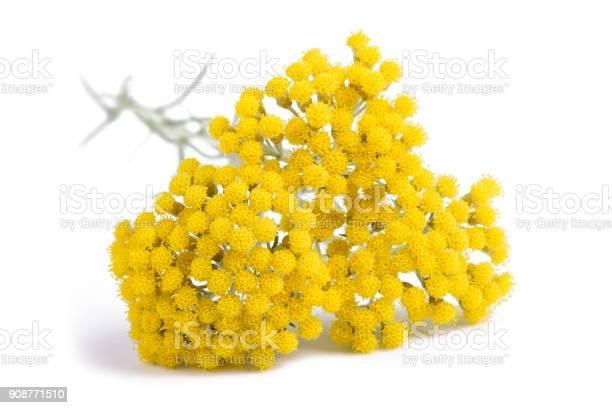 Photo of Yellow helichrysum flowers