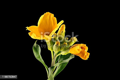 Yellow Hemerocallis (Sweet Pea), (Daylilie), close up, makro