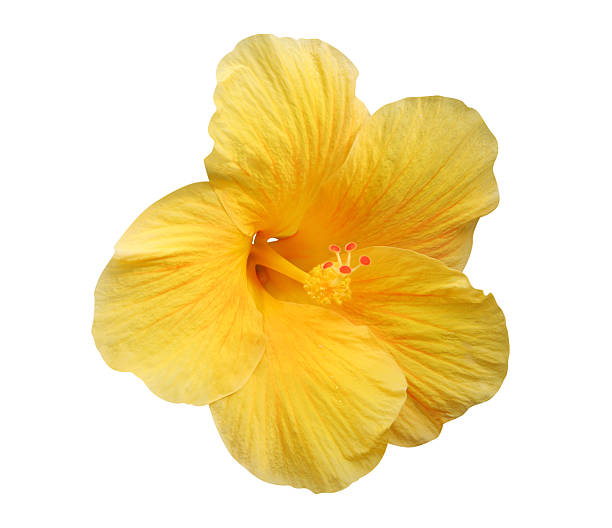 yellow hibiscus flower - isolated, path included - hawaiian flowers stock photos and pictures
