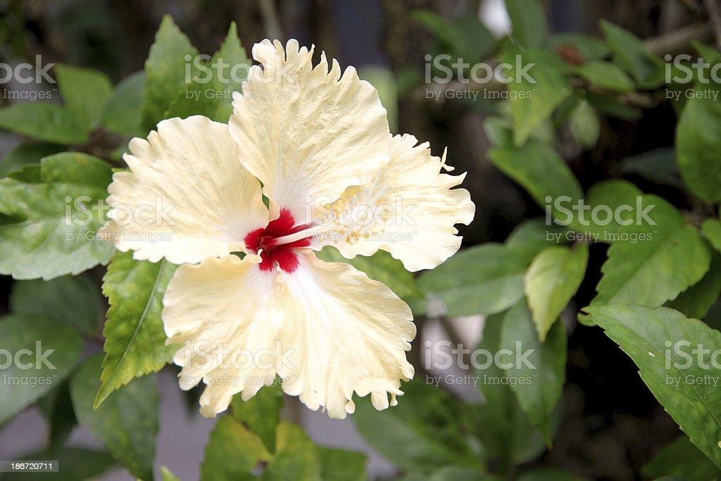 Yellow hibiscus flower. royalty-free stock photo