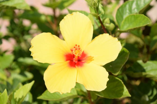 flor de hibiskus amarillo - herrenhaus grundrisse stock-fotos und bilder