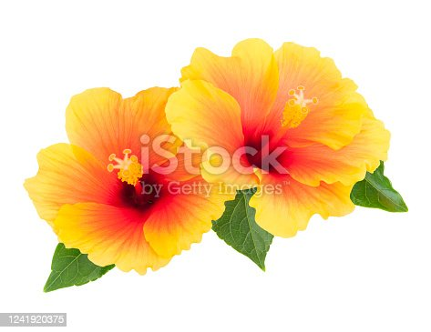 Two yellow hibiscus flowers with leaves isolated on white