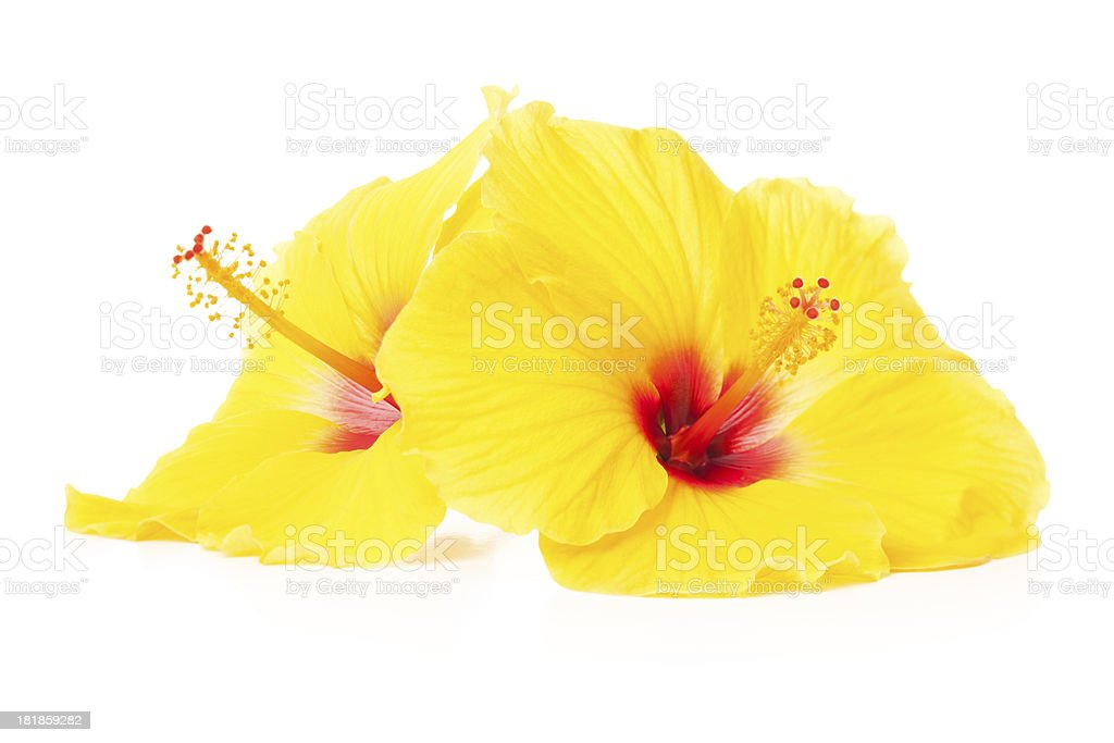 Yellow Hibiscus flowers royalty-free stock photo